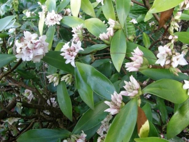 Daphne flower New Zealand