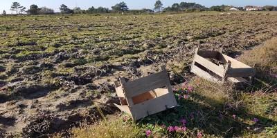 aardappelvelden in Rogil