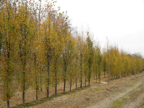 Grupa Kapias-drzewa_kopane