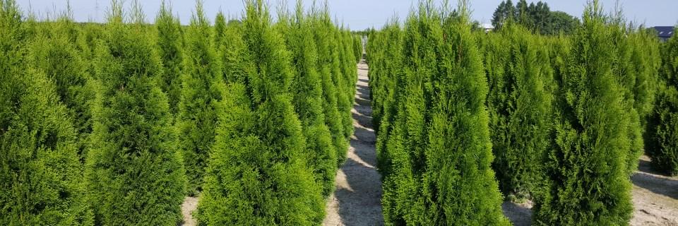 produkcja roślin iglastych w gruncie