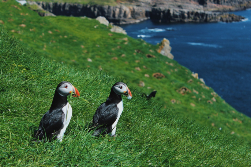 Mykines - visiting a colony of Atlantic puffins