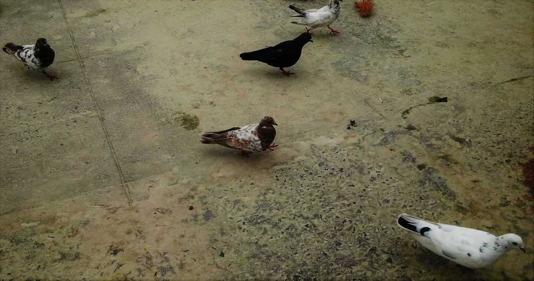 Pigeons-3