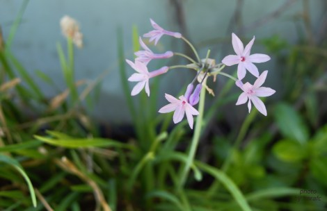 Tulbaghia violacea, society garlic, pink agapanthus