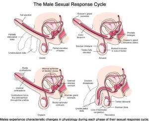 Male Sexual Response Cycle