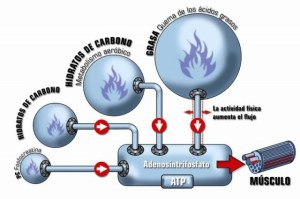 metabolismo-energetico_thumb_e