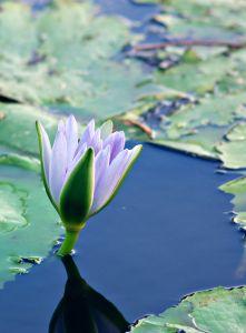 purple-lily