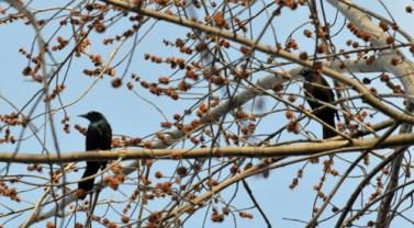 Two Blackbirds Horizontal