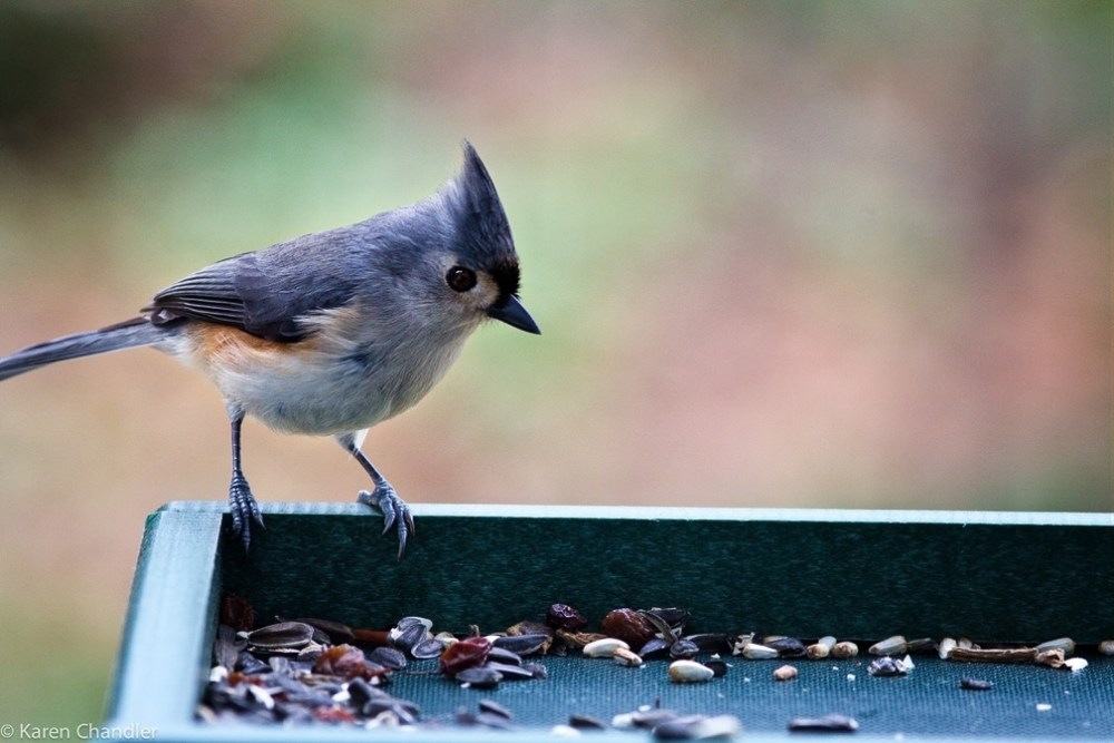 Tufted Titmouse and Carolina Chickadee (2/3)