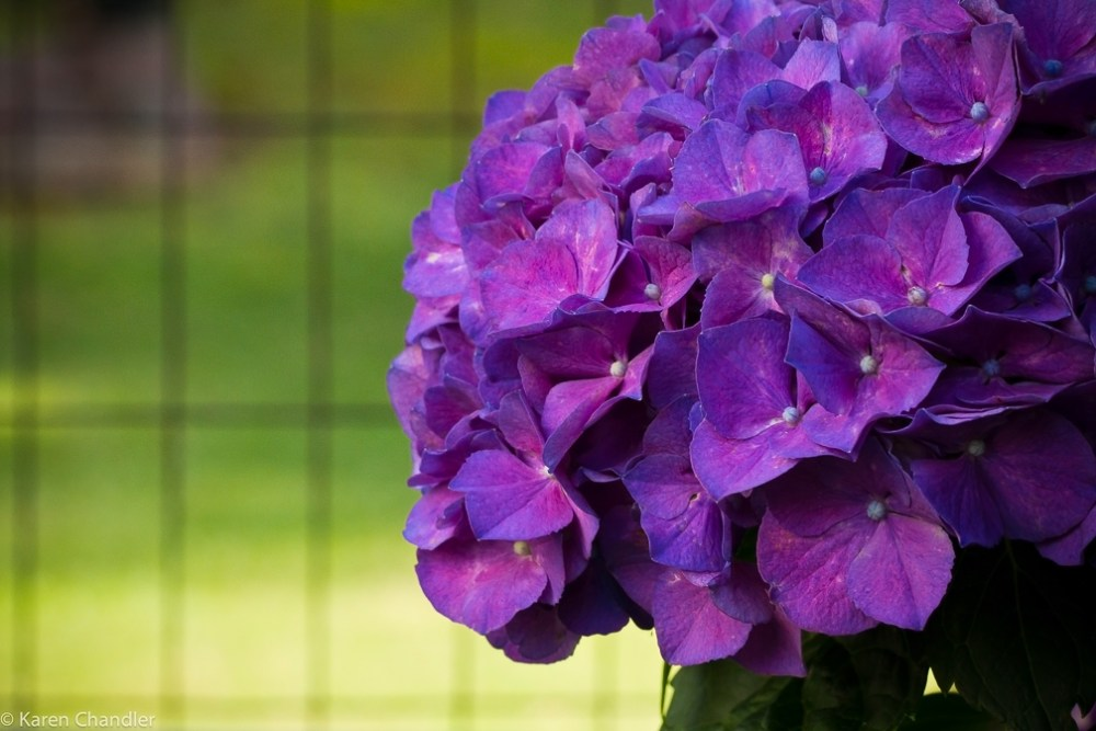 The Coolest Garden Colors: Hydrangea (1/6)