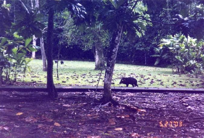 Costa Rica Collared Peccary