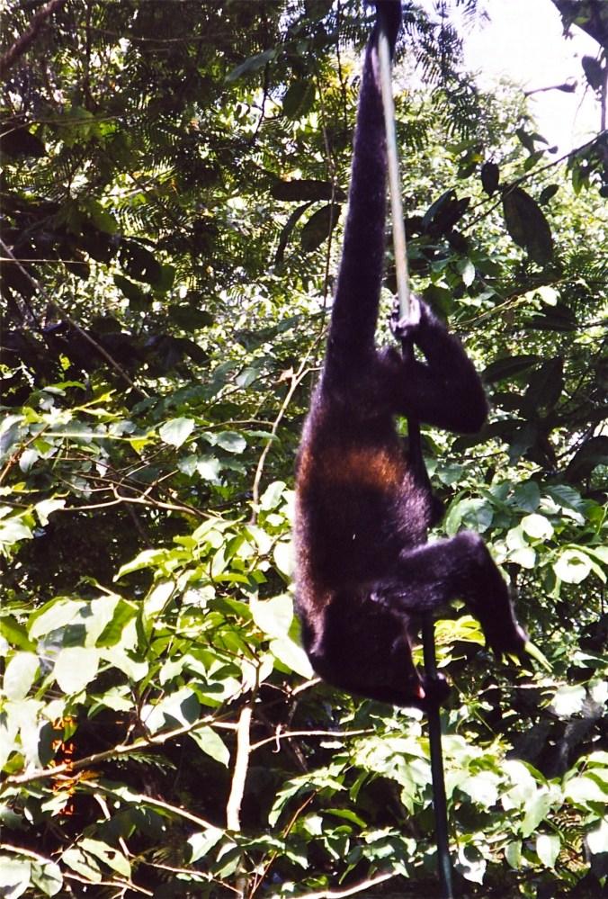 Costa Rica Howler Monkey on Bridge