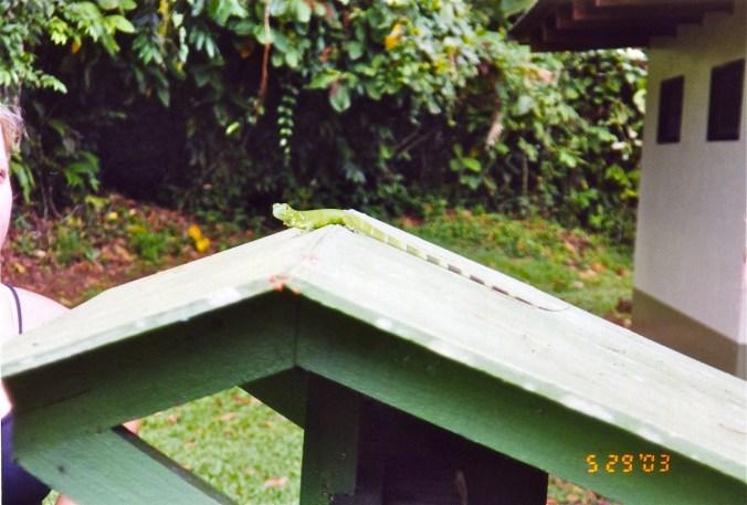 Costa Rican Lizard
