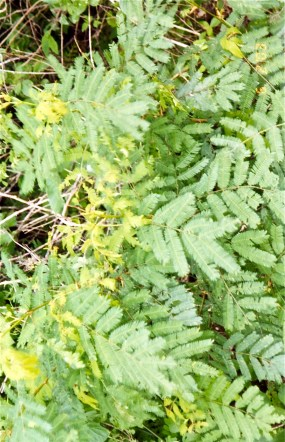 Pale Verde acacia leaves