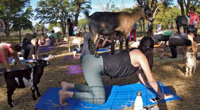 Goat on back during cow pose with two more looking on enviously