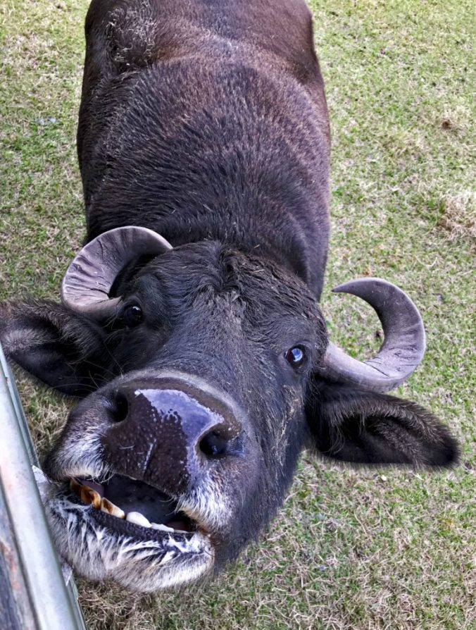 Water buffalo with open mouth