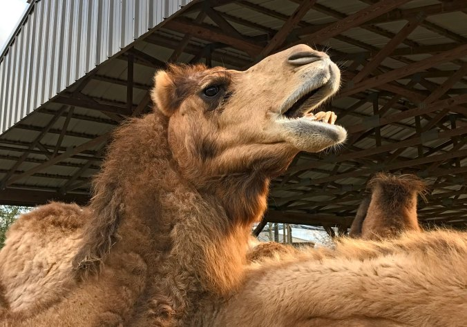 Camel with mouth open looking like he is singing
