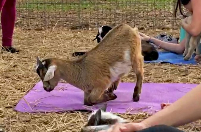 Goat attempting Dolphin Pose