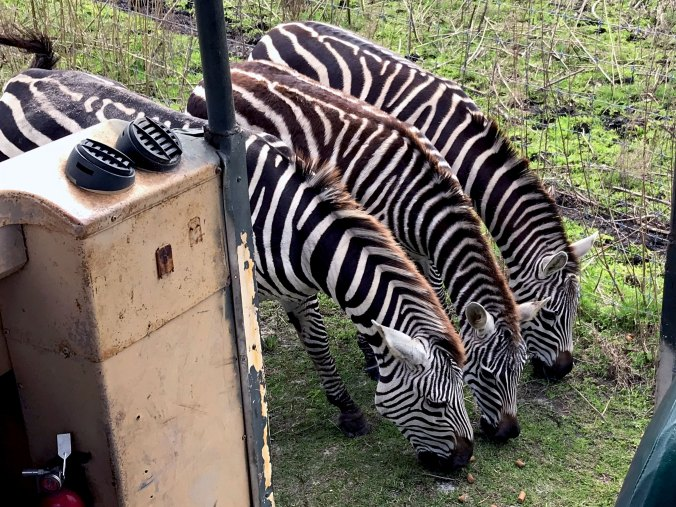 Three zebra eating food