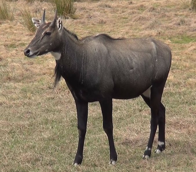 A male nilgai bluish gray in color