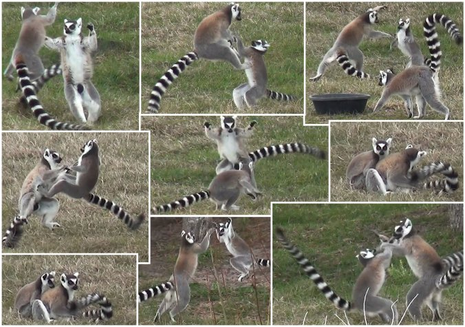 Lemurs having fun playing
