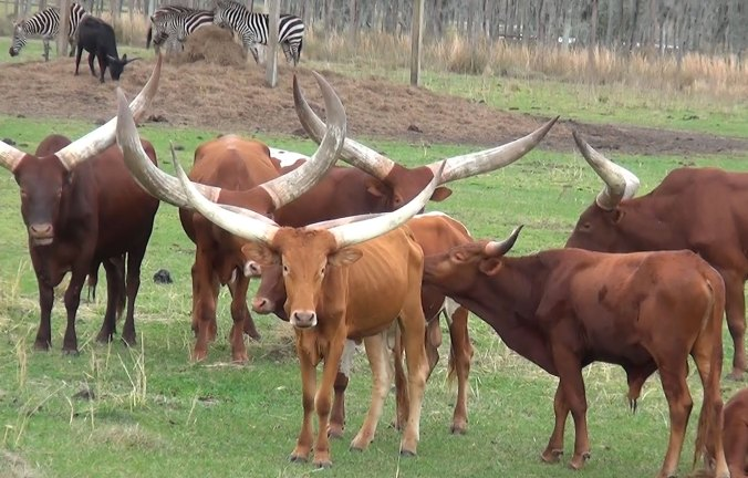 Long horned angola or watusi cattle