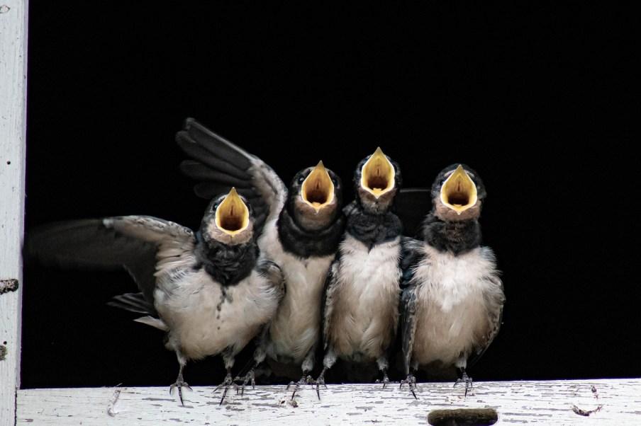 four sparrow chicks