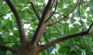 Arbutus menziesii, Madrona Tree