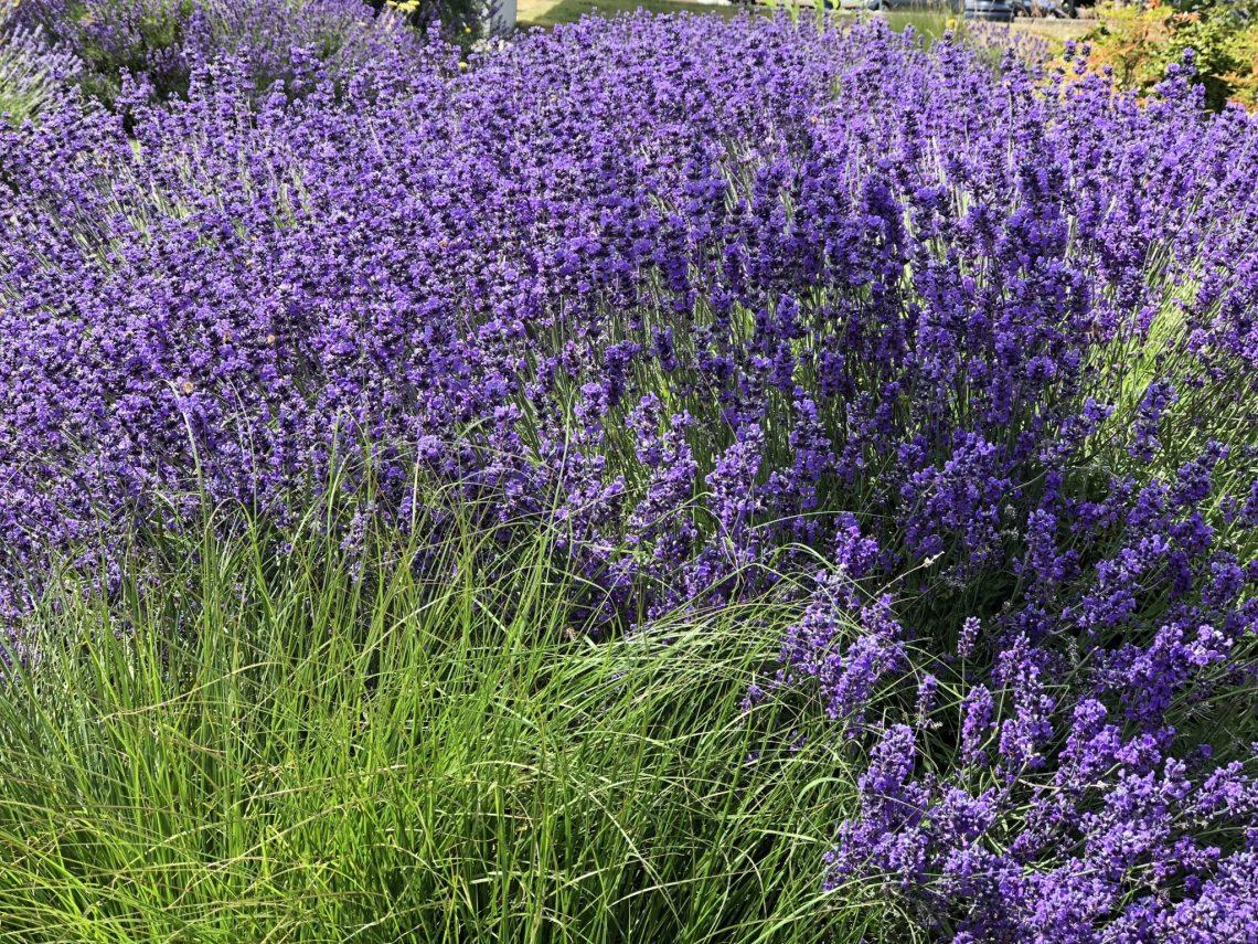 Lavender, Might and Main Monday: Inspired by Lavender, Karen Hugg, https://karenhugg.com/2018/07/15/lavender, #lavender #Provence #perennials #novel #writing #inspiration