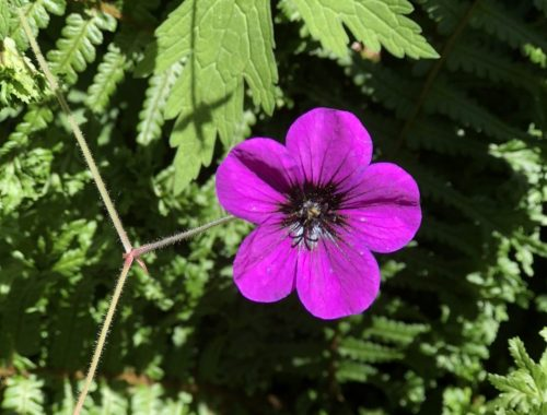 Geranium, Why a Novel About a Flower That Makes You Forget? Part 3, Karen Hugg, The Forgetting Flower, https://karenhugg.com/2018/07/27/the-forgetting-flower/ #TheForgettingFlower #flower #novel #book #plants #scents