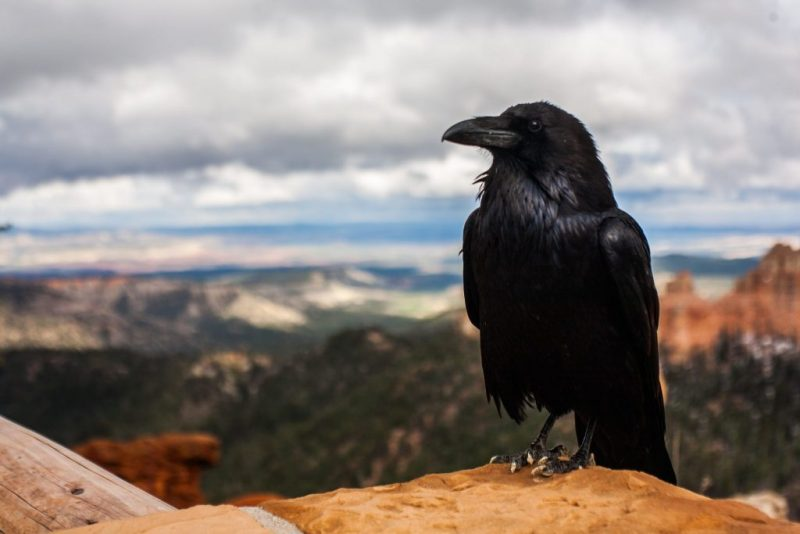 Crow Photo, Raven, Might and Main Monday: Peering into Darkness, Karen Hugg, Photo by Tyler Quiring, https://karenhugg.com/2018/11/19/edgar-allan-poe/ #books #edgarallanpoe #poetry #crow #raven #creepyquotes