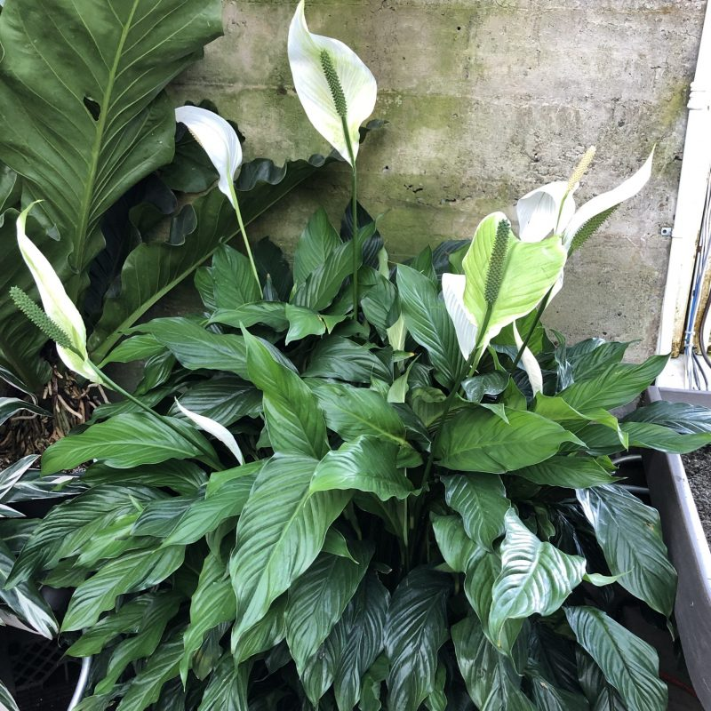 A Little Problem Solved with a ly Plant - Karen Hugg on peace lily problems white residue, peace lily plant brown leaves, jade house plant problems, begonia house plant problems, peace lily indoor plant, gardenia house plant problems, peace lily plant care of,