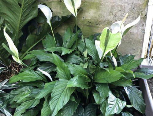 Peace Lily, A Little Problem Solved with a Lovely Plant, Karen Hugg, https://karenhugg.com/2019/01/30/peace-lily-plant/ #dogs #indoorair #plants #BelgianShepherd