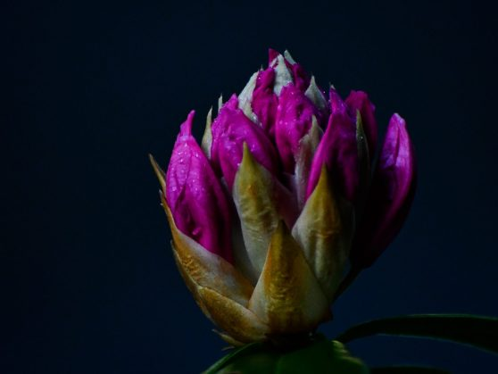 Rhododendron Bud, On Being Astonished and Capturing the Sight in a Poem, Karen Hugg, https://karenhugg.com/2019/05/03/on-being-astonished-and-capturing-the-sight-in-a-poem/ #ThomasAThomas #poems #poetry #photography #fern #plants #gardening #photos