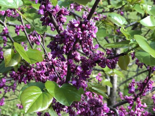 Oklahoma Redbud, How I Bring Bees, Butterflies, and Birds to My Garden, Karen Hugg, https://karenhugg.com/2019/06/01/bees-butterflies-and-birds #gardening #plants #plantsforsun #bees #butterflies #birds #garden #redbud
