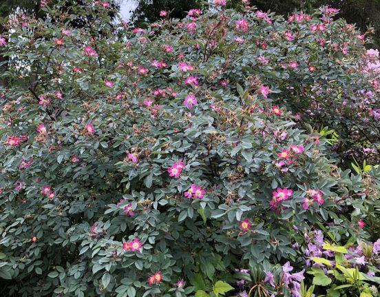 Rosa Glauca Shrub, An Easy Beautiful Rose Every Gardener Can Grow, Karen Hugg, https://karenhugg.com/2019/06/02/rosa-glauca/ #rose #lowmaintenance #easycare #rosaglauca #gardening #plants #pink #shrubroses