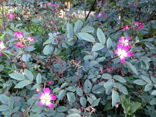 Rosa Glauca Blooms, An Easy Beautiful Rose Every Gardener Can Grow, Karen Hugg, https://karenhugg.com/2019/06/02/rosa-glauca/ #rose #lowmaintenance #easycare #rosaglauca #gardening #plants #pink #shrubroses