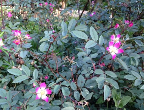 Rosa Glauca Blooms, An Easy Beautiful Rose Every Gardener Can Grow, Karen Hugg, https://karenhugg.com/2019/06/02/rosa-glauca/ #rose #lowmaintenance #easycare #rosaglauca #gardening #plants #pink #shrubroses