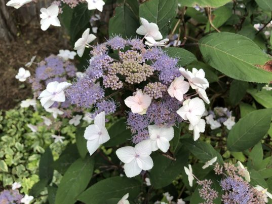 Hydrangea aspera, The Easy-to-Grow Wonderful Hydrangea, Karen Hugg, https://karenhugg.com/2019/08/27/hydrangea/ #hydrangeas #shrubs #flowers #gardening #easytogrowshrubs #deciduous #garden #latesummer #blooms
