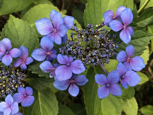 Lacecap Hydrangea, The Easy-to-Grow Wonderful Hydrangea, Karen Hugg, https://karenhugg.com/2019/08/27/hydrangea/ #hydrangeas #shrubs #flowers #gardening #easytogrowshrubs #deciduous #garden #latesummer #blooms