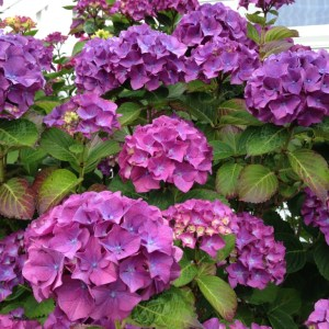 Purple Hydrangea, The Easy-to-Grow Wonderful Hydrangea, Karen Hugg, https://karenhugg.com/2019/08/27/hydrangea/ #hydrangeas #shrubs #flowers #gardening #easytogrowshrubs #deciduous #garden #latesummer #blooms