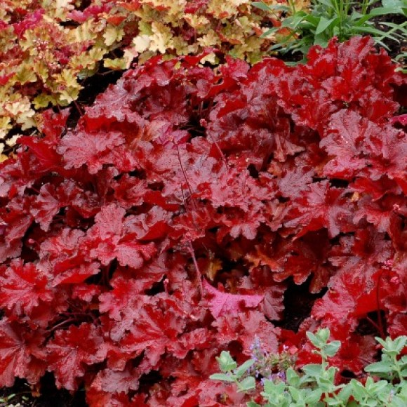 Heuchera 'Forever Red,' The Rich Blaze of Red and Orange Heucheras, Karen Hugg, https://karenhugg.com/2019/11/01/Red and Orange Heucheras/ #HeucheraForeverRed #coralbells #autumn #redandorange #perennials #heucheras #fall #fallcolor