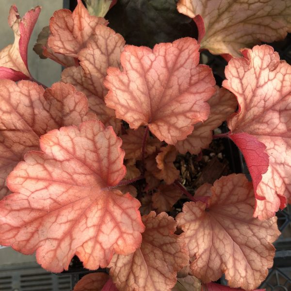 Heuchera 'Paprika,' The Rich Blaze of Red and Orange Heucheras, Karen Hugg, https://karenhugg.com/2019/11/01/Red and Orange Heucheras/ #HeucheraPaprika #coralbells #autumn #redandorange #perennials #heucheras #fall #fallcolor