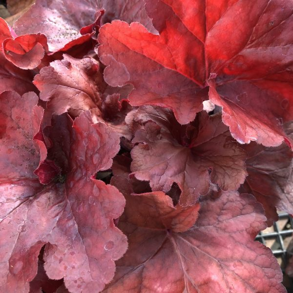 Heuchera 'Fire Alarm,' The Rich Blaze of Red and Orange Heucheras, Karen Hugg, https://karenhugg.com/2019/11/01/Red and Orange Heucheras/ #coralbells #autumn #redandorange #perennials #heucheras #fall #fallcolor #HeucheraFireAlarm