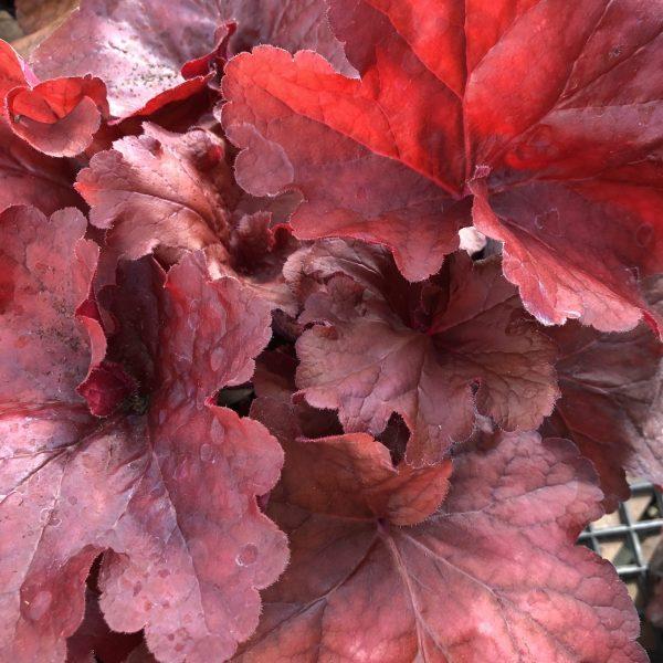 Heuchera 'Fire Alarm,' The Rich Blaze of Red and Orange Heucheras, Karen Hugg, https://karenhugg.com/2019/11/01/Red and Orange Heucheras/ #coralbells #autumn #redandorange #perennials #heucheras #fall #fallcolor #HeucheraFireAlarm