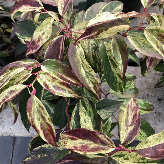 Leucothoe Rainbow, A Fantastic Evergreen Shrub for Winter Interest, Karen Hugg, https://karenhugg.com/2020/01/21/leucothoes/, #leucothoes #leucothoerainbow #evergreenshrubs #gardening #plants #garden #mediumshrubs