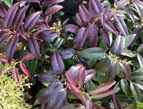 Scarletta Leucothoe, A Fantastic Evergreen Shrub for Winter Interest, Karen Hugg, https://karenhugg.com/2020/01/21/leucothoes/, #leucothoes #leucothoescarletta #evergreenshrubs #gardening #plants #garden #mediumshrubs