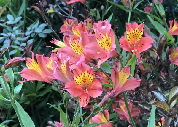 Peruvian Lily, The 10 Best Perennials for Sun, Karen Hugg, https://karenhugg.com/2020/07/01/best-perennials-for-sun/ #perennials #alstroemeria #peruvianlily #tuber #flowers #plants #purple #sun #easy #best