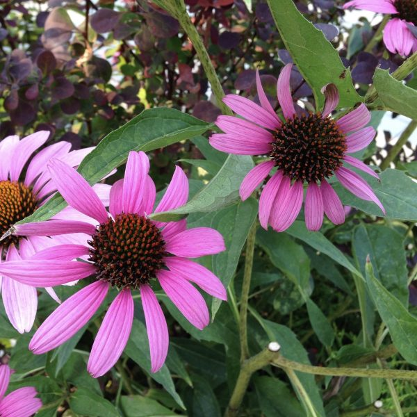 Coneflower, The 10 Best Perennials for Sun, Karen Hugg, https://karenhugg.com/2020/07/01/best-perennials-for-sun/ #perennials #coneflower #echinaceapurpurea #echinacea #flowers #plants #pink #sun #easy #best