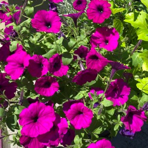 A Pretty Petunia Blooms Best for Beginner Gardeners, Karen Hugg, https://karenhugg.com/2020/08/06/petunia/, #petunia #beginnergardener #flowers #gardening #garden #annuals #best #easycare