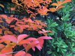 My favorite fall color tree, A New Vine of Ideas Is Ready for November, Karen Hugg, https://karenhugg.com/2020/11/09/vine-of-ideas/ #books #plants #gardening #TV #music #inspiration #environment #writing